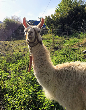 A llama on a farm in Corsica.
