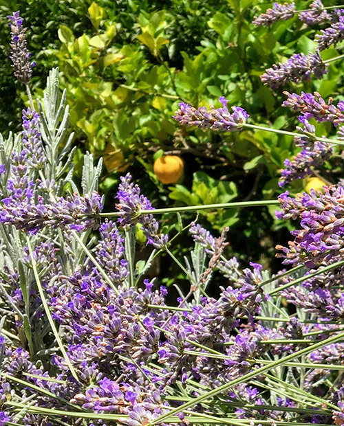 Lavender at Masseria Impisi