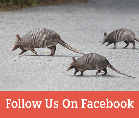 Three armadillos crossing a road - View our Facebook page